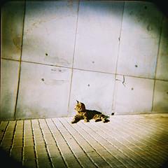 cat(ch) in the sun (almogaver) Tags: street color 120 film analog cat holga xpro crossprocess slide 200asa slidefilm plastic catalunya agfa gat 120mm portbou analogic holga120cfn rsxii 120cfn agfarsxii cfn e6c41 almogaver procscreuat agfarsxii200asa davidroca