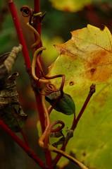 Wild grapevine (mumble bee) Tags: toronto ontario canada macro leaves nikon vine grape d40