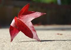 shall we dance (bebedas) Tags: autumn red fall leaf seasons dancer naturesfinest sooc platinumphoto diamondclassphotographer