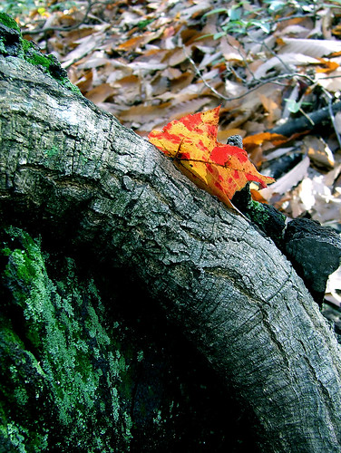 maple leaf under oak bark