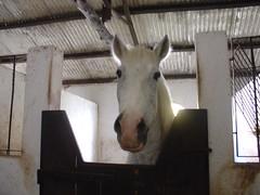 Cavalo Beni (saracondelipes) Tags: animal branco cavalo cocheira