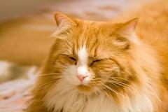 Cat (durielz) Tags: italy orange pet animal cat canon tired felino gatto arancio animale 200mm stanco eos400d bestofcats ef70200f4lisusm boc1207