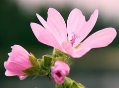 Pink flower (Maron) Tags: pink flower macro close supermarion diamondclassphotographer flickrdiamond marionnesje