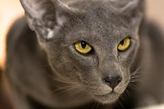 Intimidation (matthijs rouw) Tags: blue cats yellow cat grey eyes orientalshorthair dof whiskers oriental tension sharpness ichan osha oostersekorthaar orientalcat orientalcats canonef100mmf28macrousm orientalshorthairblue