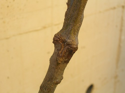 Grafted Branch
