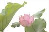 Lotus Flower - IMGP4090-xh Red / Pink