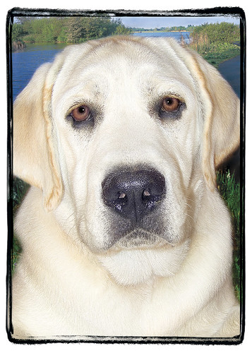 "Yellow Lab  ""Maddox"""