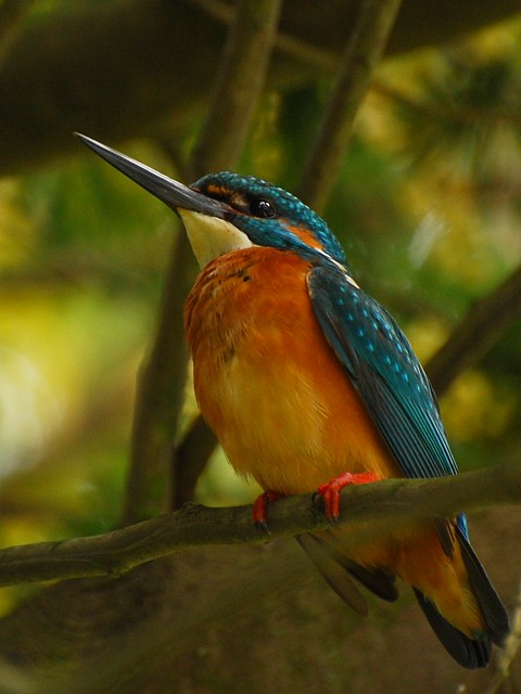 Guarda Rios // Kingfisher