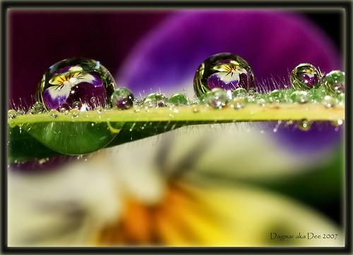 Pansies in water by Fotos by Dee.