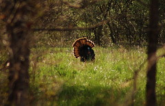 Turkey_Fluffed (BillRhodesPhoto) Tags: tree grass turkey nc woods asheville tail feathers mating wildturkey meleagrisgallopavo billrhodes 200000000stagelovers 20080402
