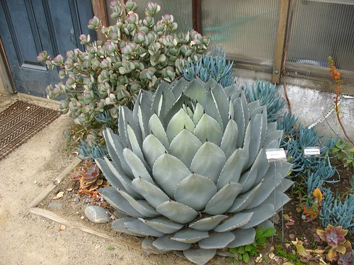 Agave parrsana (Gamble Garden; Palo Alto, CA)