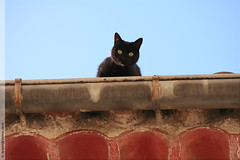 un chat  Peyrolles (Dominique Pipet) Tags: france cat blackcat photo chat foto provence fotografia chatnoir fotografa gouttire southfrance bouchesdurhne 13860 peyrolles peyrollesenprovence dompipet dominiquepipet
