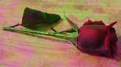 gulversem333 (fatihkazimsen) Tags: rose turkey star photos gül sufi vapur gul sen izmir fatih kordon yıldız denizatı kazim