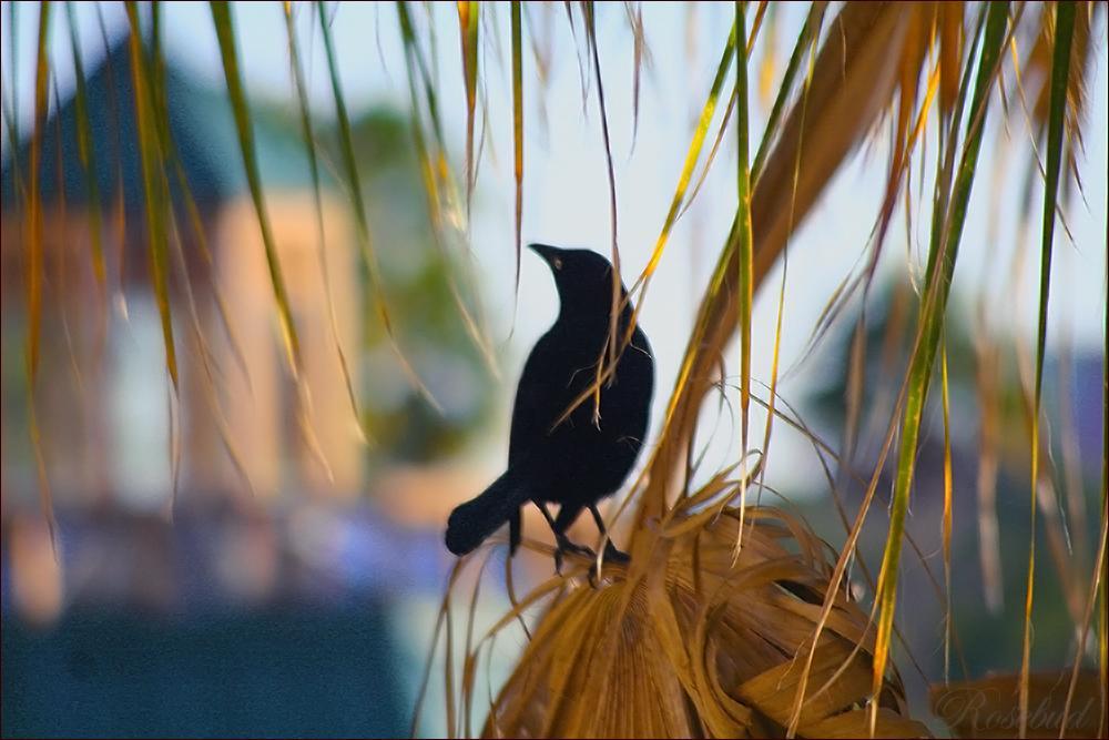 blackbird ©2008 RosebudPenfold