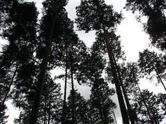 Trees on the summit of Mt Takao