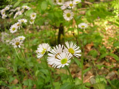 Mini-daisies
