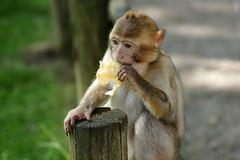 little monkey with a piece of cake - Barbary Macaque - Berberaffe (okrakaro) Tags: little monkey pieceofcake portrait barbarymacaque animal kleiner affe berberaffe kuchen natur zoo rheine juni 2014 fence zaun