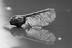 Macro Monday: B&W (AngharadW) Tags: water reflections reflection seed mono monochrome monday macro macromonday bw angharadw