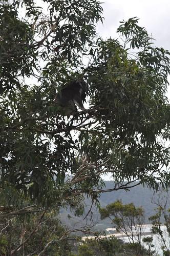 first koala 2