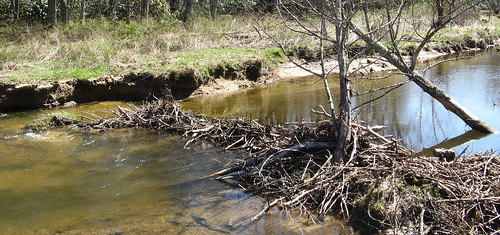 Beaver dam along the Boone Fork Trail