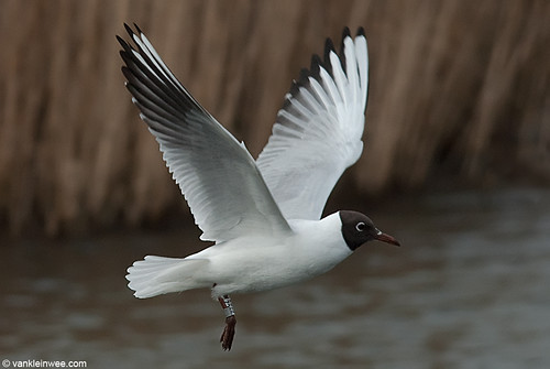 Black-headed Gull, adult, W[E5CZ]