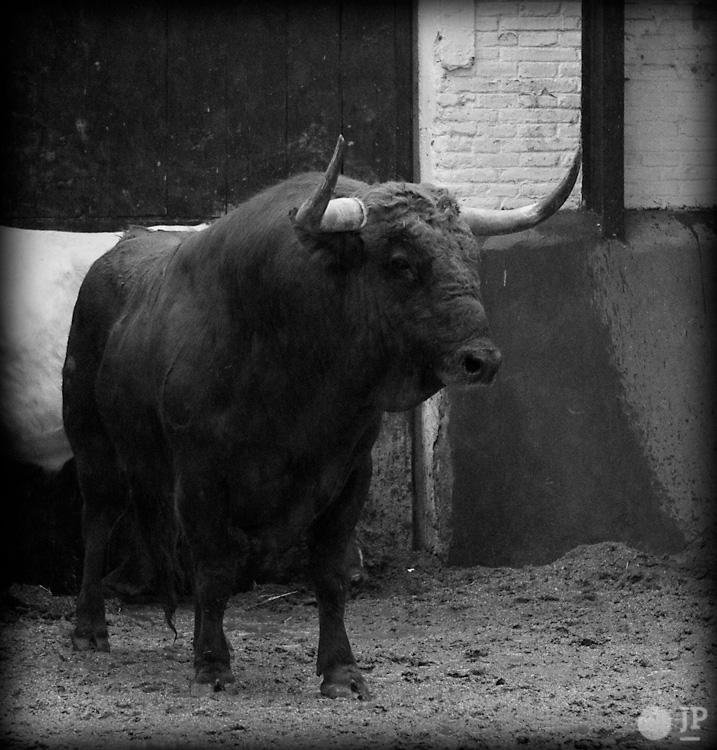 Toro-Conde-de-la-Corte-4