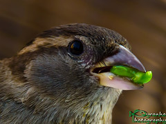 Eating the Pea (Pyranha Photography | 300k views - THX) Tags: birds dinner canon eos sterreich pea graz fh steiermark vogel styria abendessen spatz nudel photogrpahy frhlingsrolle erbse joanneum pyranha pyranhaphotography chnies 60daustria