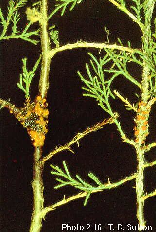 Quince rust infections on eastern red cedar twigs. Photo courtesy of T. B. Sutton, North Carolina State University.