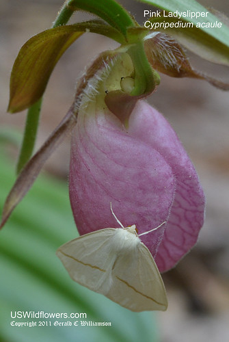 Moth on Ladyslipper