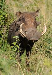 Male Warthog, Murchison Falls NP, Uganda