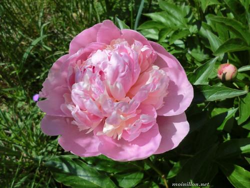 Pivoine-rose 2011-05-22@
