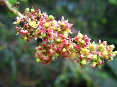 mango infloresence (vakrathundam2000) Tags: kanikonna sarakondrai bandarlathi