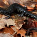 Plethodon albagula (Western Slimy Salamander)