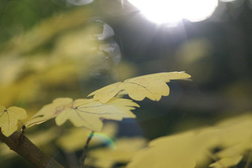 Yellow Leaf with Sunshing Through