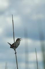 Marsh Wren, Plum Island, MA (flyingibis) Tags: