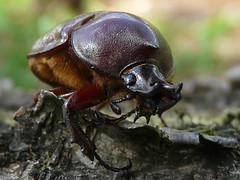 Horned beetle (edumoreira) Tags: macro bug insect beetle escarabajo scarab coleoptera escaravelho besouro naturesfinest oryctes macromundo abigfave specinsect macromarvels elshowdelmacro