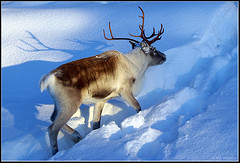 Reindeer (Jom Manilat) Tags: snow reindeer sweden lappland lapland soe arvidsjaur naturesfinest blueribbonwinner 25faves swampi