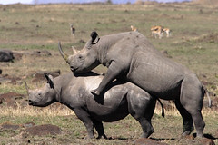 Very very rare sight (Lyndon Firman) Tags: africa canon kenya safari rhino mating blackrhino masaimara supershot specanimal anawesomeshot bfgreatesthits
