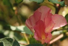 Red Cotton Flower