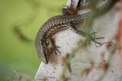 Lizard - Lucertola (Carlo Pozzoni) Tags: animal reptile lizard animale balcone sauro lucertola rettile