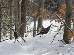 DSC04350 (batwrangler) Tags: birds wildlife nh turkeys wildturkeys nhwildlife