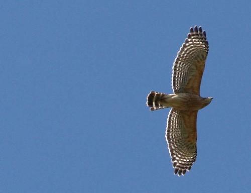 hawk crop 3