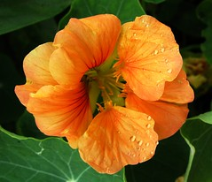 Nasturtium (pennyeast) Tags: friends orange plant flower macro nature garden southafrica botanical capetown explore tropaeolum plantae mygarden edible medicinal nasturtium useful westerncape tropaeolaceae tropaeolummajus flowerotica fantasticflower mywinners superbmasterpiece citrit brillianteyejewel betterthangood theperfectphotographer papaalphaecho excellentsflowers mawep