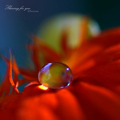 Shining for you ( Nina Larsen - ninazdesign) Tags: red flower macro reflection drops bravo gotas droplet eow supershot anawesomeshot excellentphotographerawards theperfectphotographer ninazdesign ninalarsen