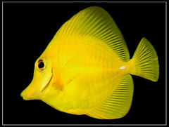 Yellow Tang (Nomadic Vision Photography) Tags: fish macro canon5d yellowtang johnreid aquirium offcameralighting wwwcatchlightsacom excapturemacro