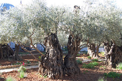 olive trees from time time of the Romans