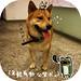 柴犬:年輕有勁公柴犬。