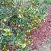 Cumquat in my Backyard