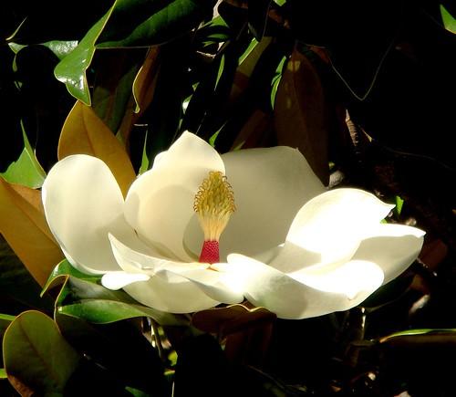 Magnolia in Stellenbosch, South Africa