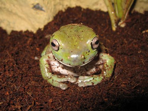 Hypno-Frog